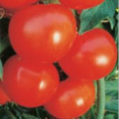 Sanibel Tomato TM587-20_Base