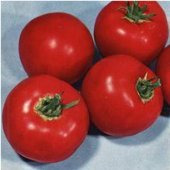 Scotia Tomato TM284-20