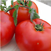 Siletz Tomato TM630-20_Base