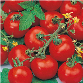 Sub-Arctic Plenty Tomato TM126-20_Base