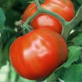 Sugar Baby Tomato TM636-10_Base