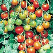 Sugar Daddy Tomato TM463-10_Base