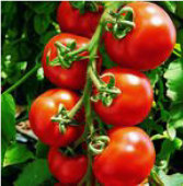 Sugar Lump Tomato TM556-20_Base