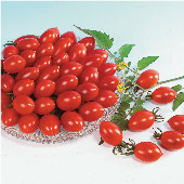 Sugary Tomato TM388-10_Base