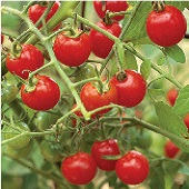 Suncherry Tomato TM290-10