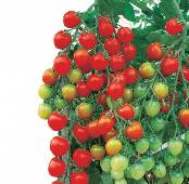 Suncherry Extra Sweet Tomato TM560-10_Base