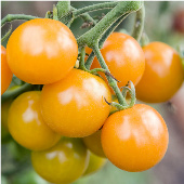 Sungold Tomato TM127-20_Base