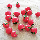 Sweet Treats Tomato TM579-10_Base