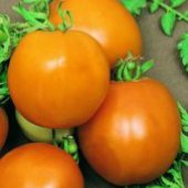Tangerine Tomato TM258-10_Base