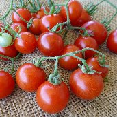 Texas Wild Cherry Tomato TM411-20_Base