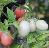 Thai Pink Egg Tomato TM417-10_Base