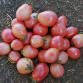 Thai Pink Pear Tomato TM599-20