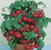 Tiny Tim Tomato TM266-20_Base