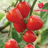 Tomatoberry Tomato TM416-10_Base