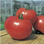 Tough Boy Tomato TM573-10_Base