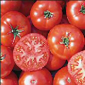 Trophy Tomato TM386-20_Base