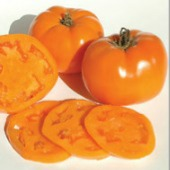 Valencia Tomato TM733-20_Base