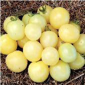 White Cherry Tomato  TM363-20