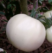 White Snowball Tomato TM381-10_Base