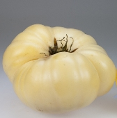 White Wonder Tomato TM141-20_Base