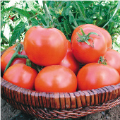 Willamette Tomato TM159-20_Base