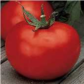 Wisconsin 55 Tomato TM207-20_Base