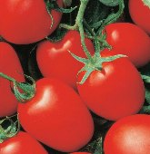 Yaqui Tomato TM801-20_Base