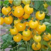 Yellow Cherry Tomato TM191-20_Base