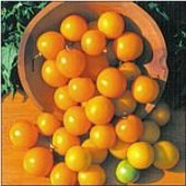 Yellow Ping Pong Tomato TM719-10_Base