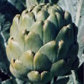 Emerald Artichokes AR5-20_Base