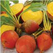 Golden Detroit Beets BT22-50
