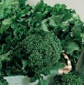 Calabrese Broccoli BR1-50_Base