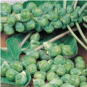 Roodnerf Brussels Sprouts BS6-50_Base
