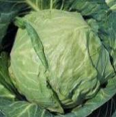 Danish Ballhead Cabbage CB47-50_Base