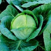 Megaton Cabbage CB39-25_Base
