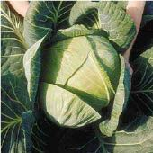 Show Off Cabbage CB36-25_Base