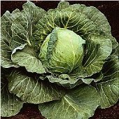 Stein's Late Flat Dutch Cabbage CB34-50_Base