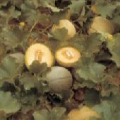 Mildew Resistant No 45 Melons CA43-20_Base