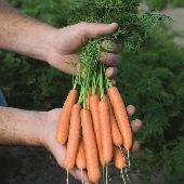 Adelaide Carrots CT38-300_Base