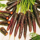 Purple Haze Carrots CT31-100