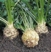 Brilliant Celeriac CL5-50_Base