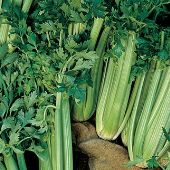 Tall Utah 52-70R Improved Celery CL3-100_Base