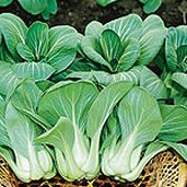 Mei Qing Choi Chinese Cabbage CB24-50