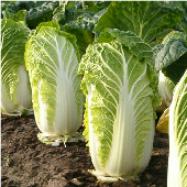 Wong Bok Chinese Cabbage CB20-50_Base