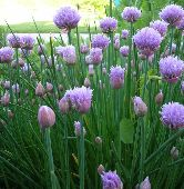 Chives HB132-100_Base
