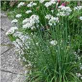 Garlic Chives HB49-100