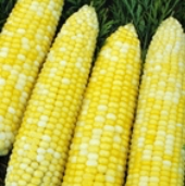 Ambrosia Corn CN50-50_Base