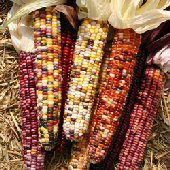 Indian Ornamental Corn (Autumn Explosion) CN42-50_Base