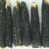 Blue Hopi Improved Corn CN38-50_Base