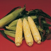 Delectable Corn CN33-50_Base
